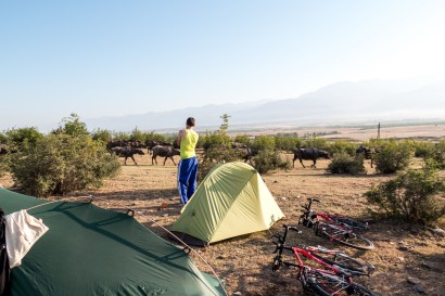 Water buffalo (we think) trekking through camp in the early morning sun.