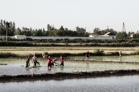 Working away in the paddy fields in the late afternoon. The artificially irrigated region between Nukus and Khiva.