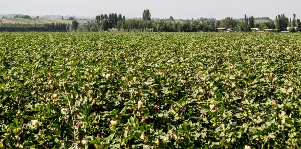 There just had to be one photo of the massive cotton plantations that we're been cycling through for large parts of Uzbekistan. Near Angren, Uzbekistan.