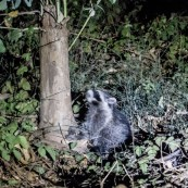 Our first night in the tents and we were joined by a skunk and several racoons. Couldn't get this one in focus but he was just so cool that he had to feature. Costanoa, CA, USA