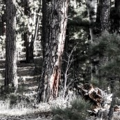 Spotted a wolf! Can you spot him? Jacob's Lake, AZ, USA