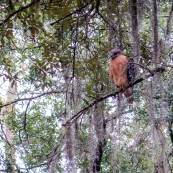 Woke up to see the most enormous bird perched above the tent, keeping watch. Fanning Springs, FL, USA