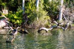 This whole region is teeming with wildlife. Turtles and cormorants. Homosassa, FL, USA