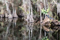 Alligator reflection pool. Everglades, FL, USA
